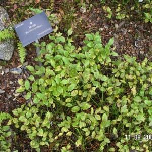 Photographie n°210828 du taxon Vaccinium myrtillus L.