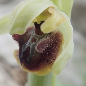 Ophrys aranifera subsp. massiliensis (Viglione & Véla) Véla (Ophrys de Marseille)