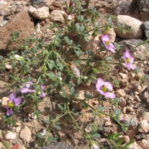 Photographie n°210873 du taxon Fagonia cretica L.
