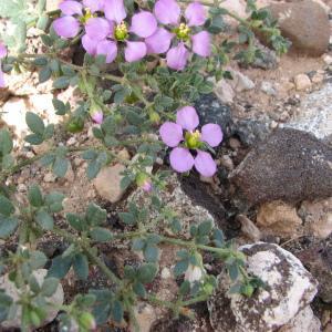 Photographie n°210874 du taxon Fagonia cretica L.
