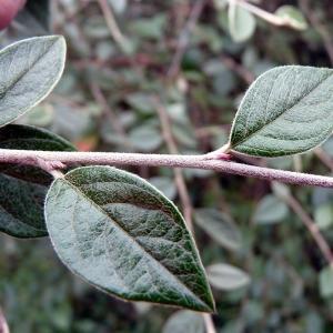 Photographie n°210990 du taxon Cotoneaster franchetii Bois