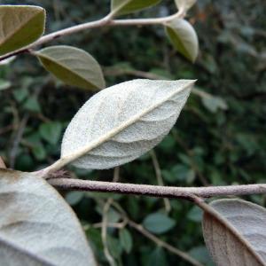 - Cotoneaster franchetii Bois