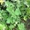 Laurent CHAUVEL - Chelidonium majus subsp. majus