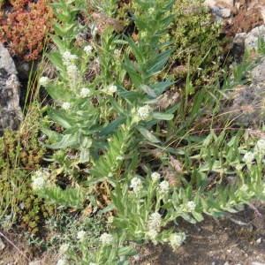 Photographie n°211147 du taxon Lepidium heterophyllum Benth.