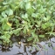 Liliane Roubaudi - Eichhornia crassipes (Mart.) Solms