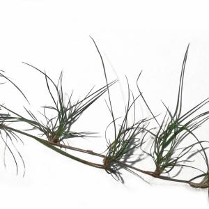 Photographie n°211210 du taxon Agrostis canina L. [1753]