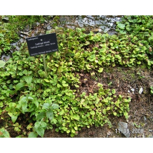 Saxifraga hirsuta L. subsp. hirsuta (Faux Désespoir des peintres)