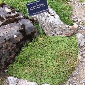 Photographie n°211237 du taxon Petrocallis pyrenaica (L.) R.Br. [1812]