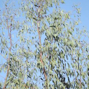 - Eucalyptus gunnii Hook.f.