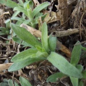 - Artemisia dracunculus L. [1753]