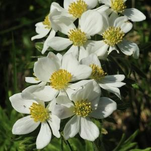 - Anemone narcissiflora subsp. narcissiflora