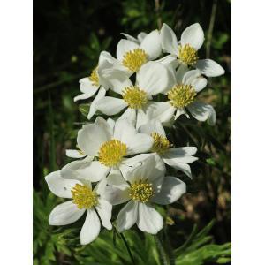 Anemone narcissiflora L. subsp. narcissiflora (Anémone à feuilles de narcisse)