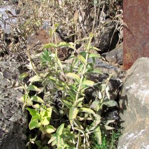 Photographie n°211369 du taxon Mentha longifolia (L.) Huds. [1762]