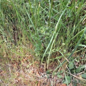 - Jasione montana subsp. montana