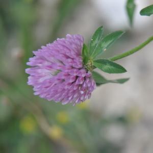 Photographie n°211580 du taxon Trifolium pratense L. [1753]