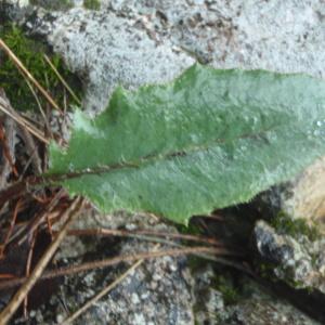 Photographie n°211805 du taxon Hieracium jaubertianum Timb.-Lagr. & Loret [1858]