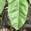 Pierre Bonnet - Citrus reticulata Blanco [1837]