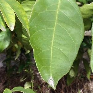 Citrus reticulata Blanco [1837] (Mandarinier)