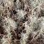 Pierre Bonnet - Helichrysum stoechas (L.) Moench [1794]