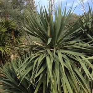 - Yucca gloriosa L.