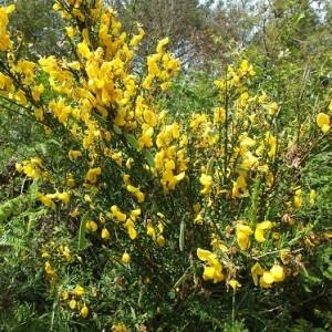 - Cytisus scoparius subsp. scoparius