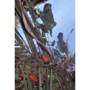 Capsicum frutescens L. [1753] (Piment de Cayenne)