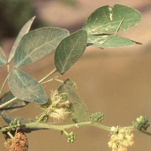 Pithecellobium dulce (Roxb.) Benth. (Guamá americano)