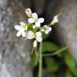 Arabidopsis thaliana (L.) Heynh. (Arabette de Thalius)