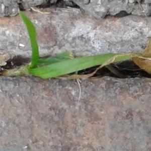 Photographie n°212165 du taxon Poaceae