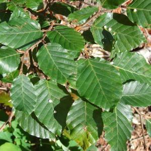 Photographie n°212193 du taxon Fagus sylvatica L.