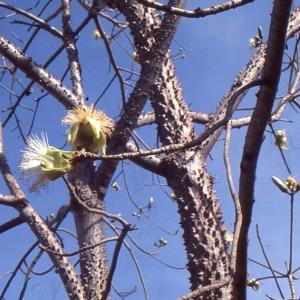 Ceiba pentandra (L.) Gaertn. (Ceiba)