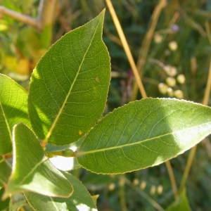 Salix pentandra L. (Saule à cinq étamines)