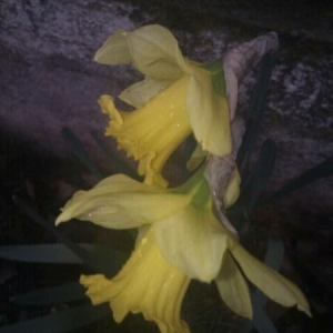 Photographie n°212353 du taxon Narcissus pseudonarcissus L. [1753]