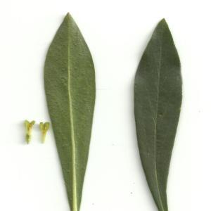 Photographie n°212388 du taxon Daphne laureola L. [1753]