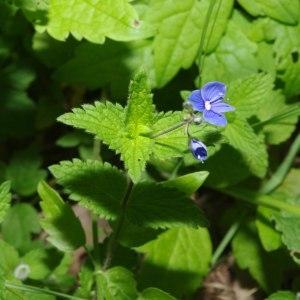 Photographie n°212494 du taxon Veronica chamaedrys L. [1753]