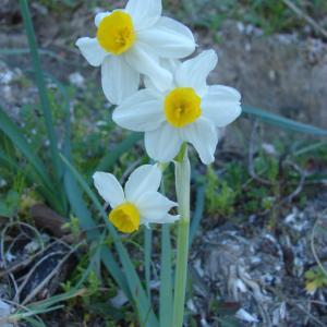 Photographie n°212528 du taxon Narcissus tazetta L.