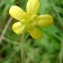 Paul Fabre - Ranunculus flammula L. [1753]