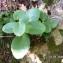 Alain Bigou - Hylotelephium telephium (L.) H.Ohba