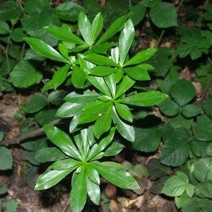 Photographie n°212661 du taxon Daphne laureola L. [1753]