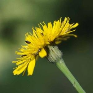 Hypochaeris radicata L. (Porcelle enracinée)