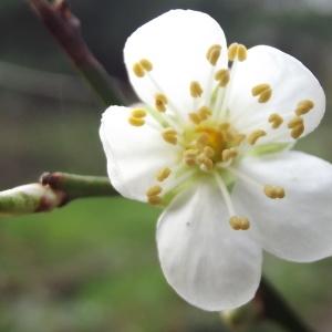 Prunus domestica L. subsp. domestica (Prunier)