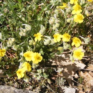 Photographie n°212768 du taxon Helianthemum canum (L.) Baumg. [1816]