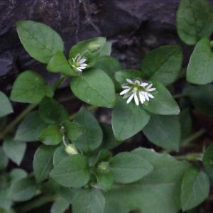 Photographie n°212866 du taxon Stellaria media (L.) Vill. [1789]