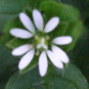 Photographie n°212868 du taxon Stellaria media (L.) Vill. [1789]
