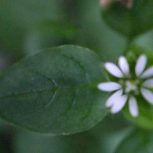 Photographie n°212869 du taxon Stellaria media (L.) Vill. [1789]