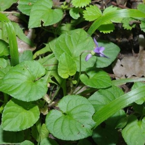 Photographie n°212890 du taxon Viola riviniana Rchb.