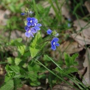Photographie n°212893 du taxon Veronica chamaedrys L. [1753]