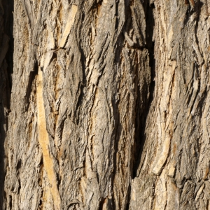 Photographie n°212914 du taxon Maclura pomifera (Raf.) C.K.Schneid. [1906]