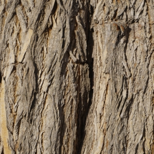 Photographie n°212915 du taxon Maclura pomifera (Raf.) C.K.Schneid. [1906]