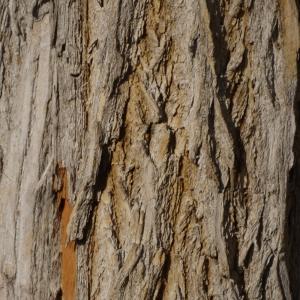 Photographie n°212916 du taxon Maclura pomifera (Raf.) C.K.Schneid. [1906]